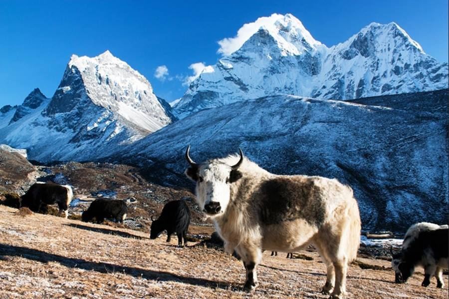 Yak in the Himalaya